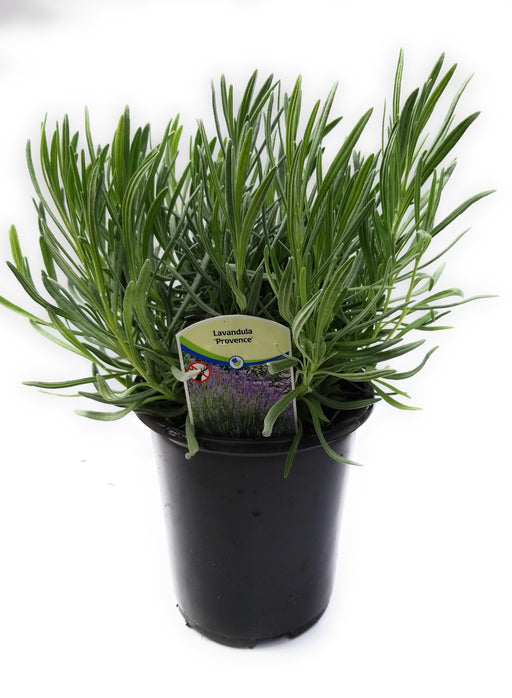 Lavender French Provence - 1gal Size Pot