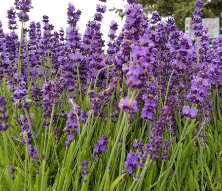 Culinary Lavender - Always from the latest harvest!