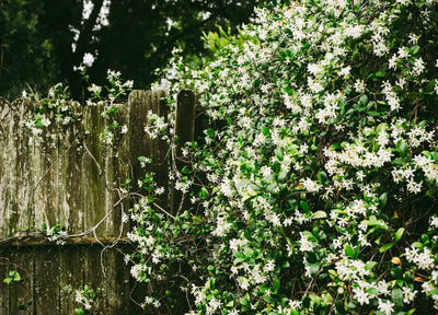 The Allure of Jasmine