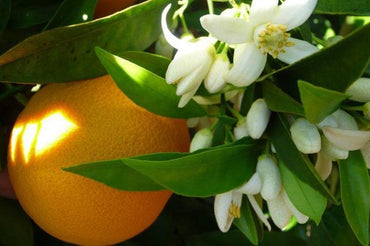 Why Neroli Is One of the Most Luxurious and Beneficial Oils for Skin