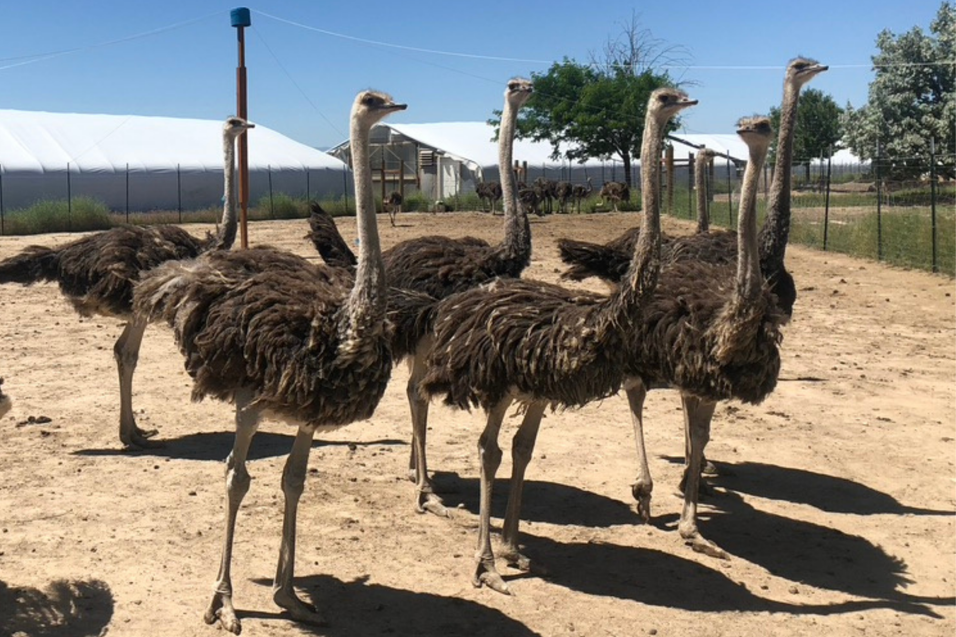 A flock of ostriches.