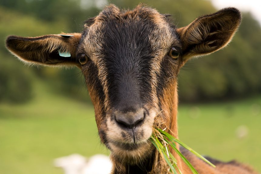 Serious About Sustainability:  Why We Use Goats for Weed Control