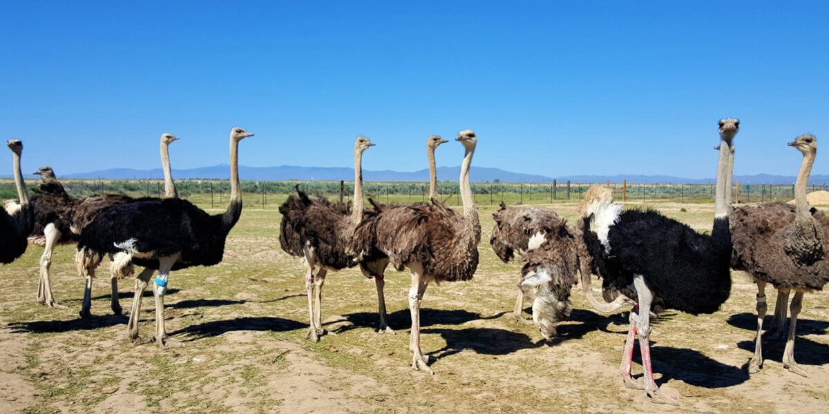Sustainable and responsible ostrich farming.