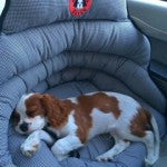 Small dogs in a car seat pupsaver