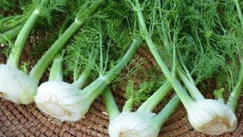 Plant Feature: Florence Fennel