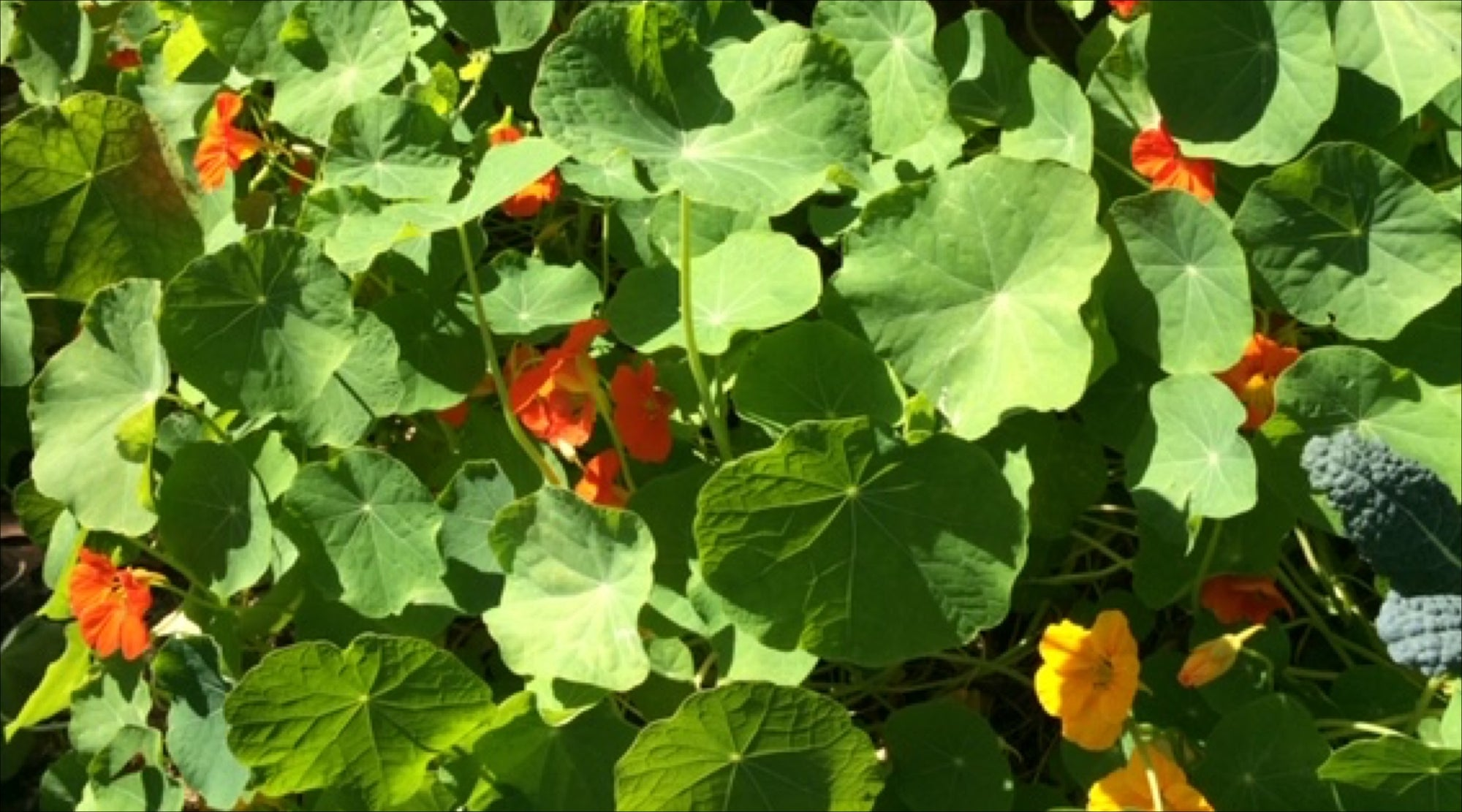November Grow Your Own: Uses of Nasturtiums (and Nasturtium Caper Recipe) and Seeds To Sow Now