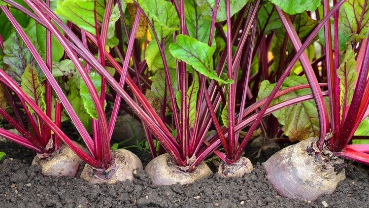 March Plant Feature: How To Grow Beetroot