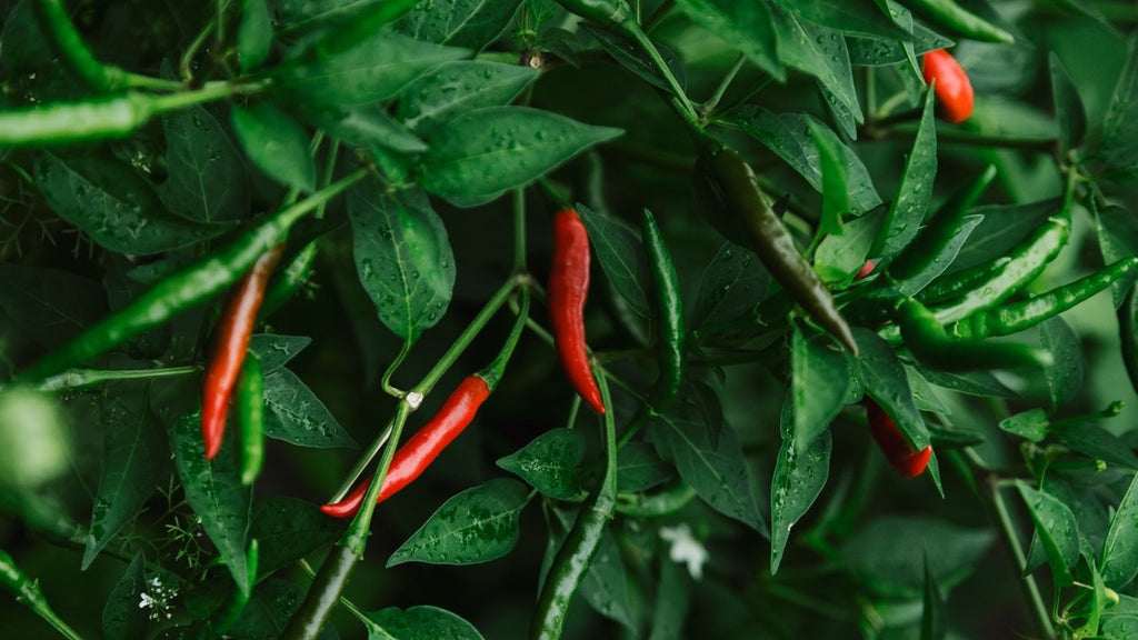 Plant Feature: Chilli and Capsicum
