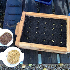 Sowing seeds into seedling flat