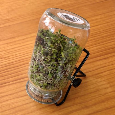 Broccoli sprouts in a jar with sprouting lid and stand