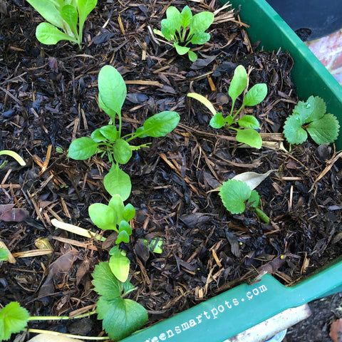 English spinach growing in a Greensmart pot