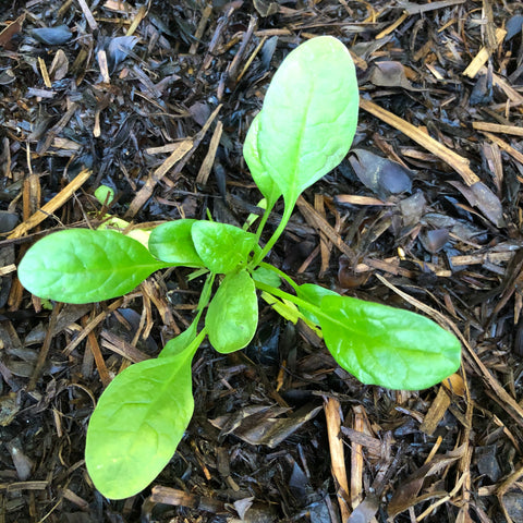 English spinach growing in nutritious soil in a Greensmart pot