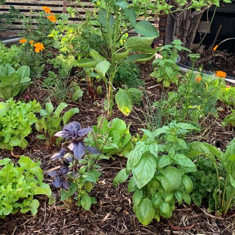 Spring garden full of healthy seedlings with companion planting