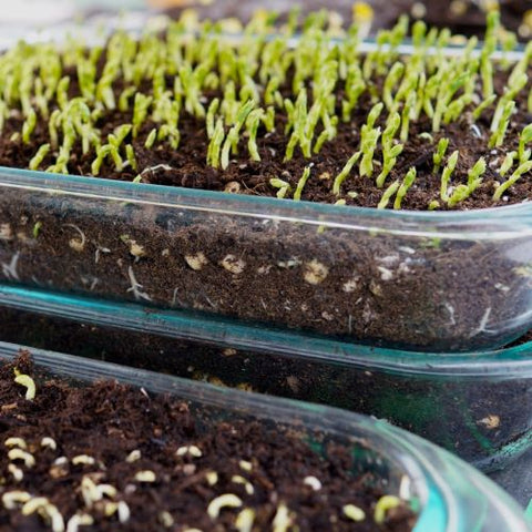 Microgreens growing in soil in a glass casserole dish
