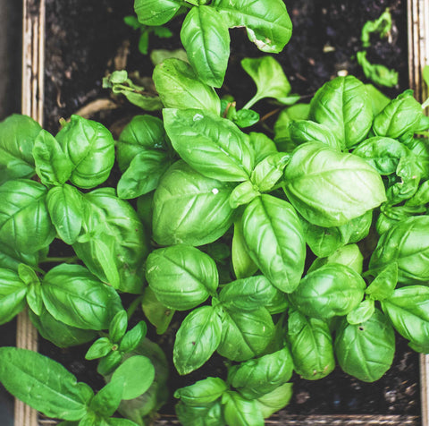 basil growing in a tray