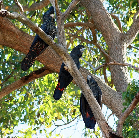 black cockatoos in forest