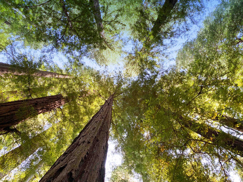 ancient forest canopy with blue sky