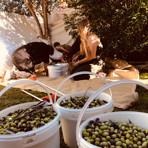 olive harvest with olives in white buckets