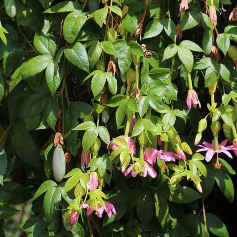 Passionfruit vine with flowers and leaves