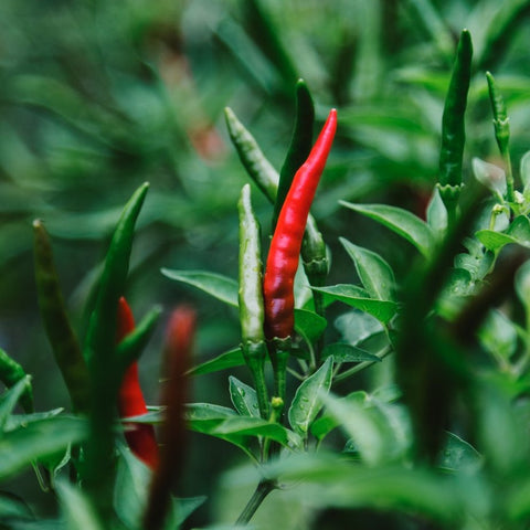 Red and green chillies growing on a bush