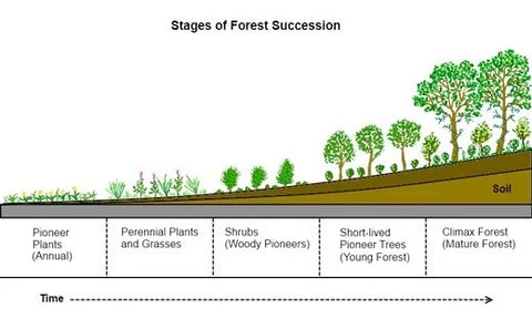 stages of forest succession in permaculture