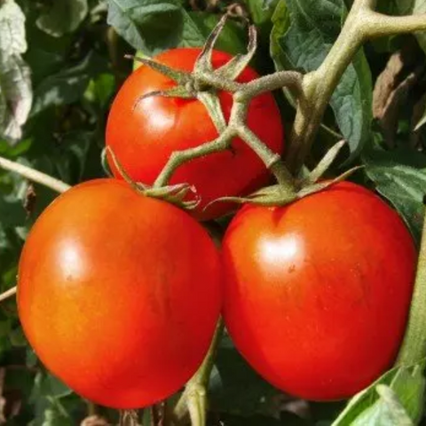 Red Chick tomatoes being grown on a vine