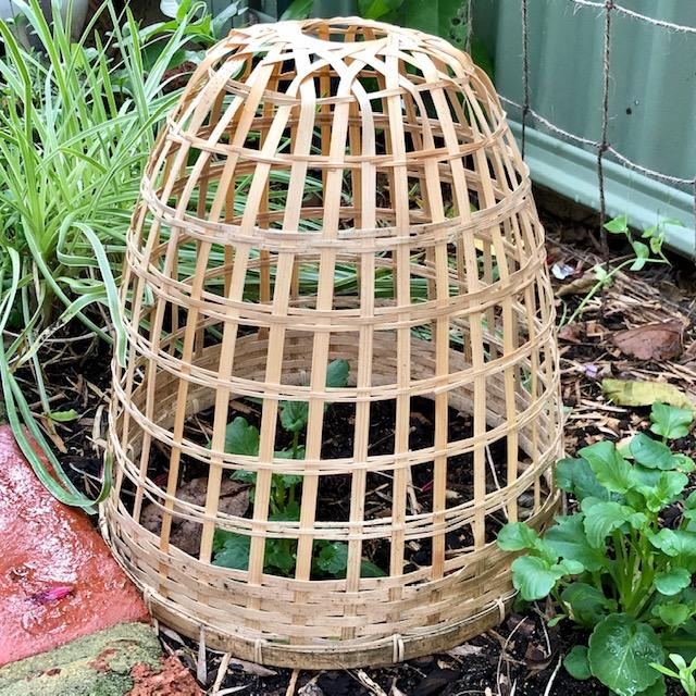 Bamboo Cloche in a Garden Bed - Side View