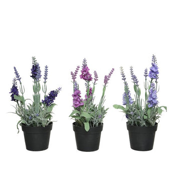 Lavender In Pot - Assorted