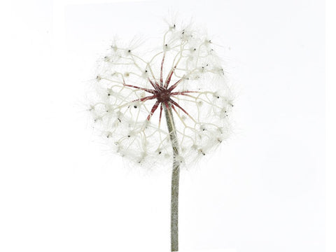 Large Dandelion - White