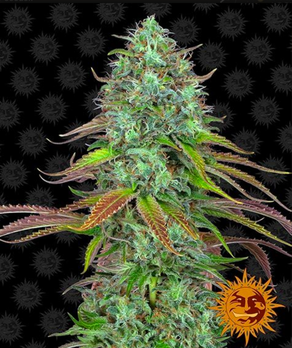 LSD AUTO™ - Barneys Farm - 3 Pack Cannabis Seeds