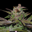 Purple Wreck - DNA Genitic - 6 Pack - Cannabis Seeds