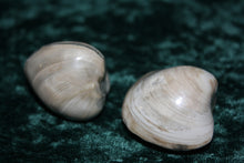 Clam Mussel Fossil Pair, Clam, - Goddess Stone