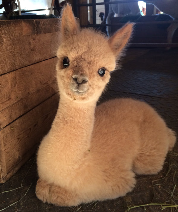 What's so great about alpaca fleece?