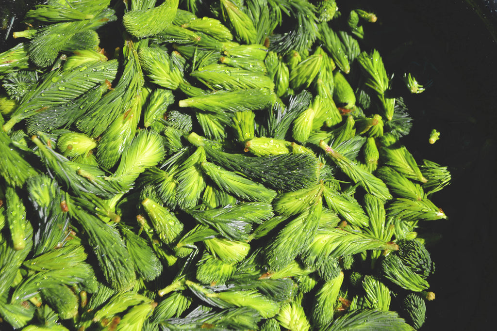 Field Notes: Harvesting Spruce Tips
