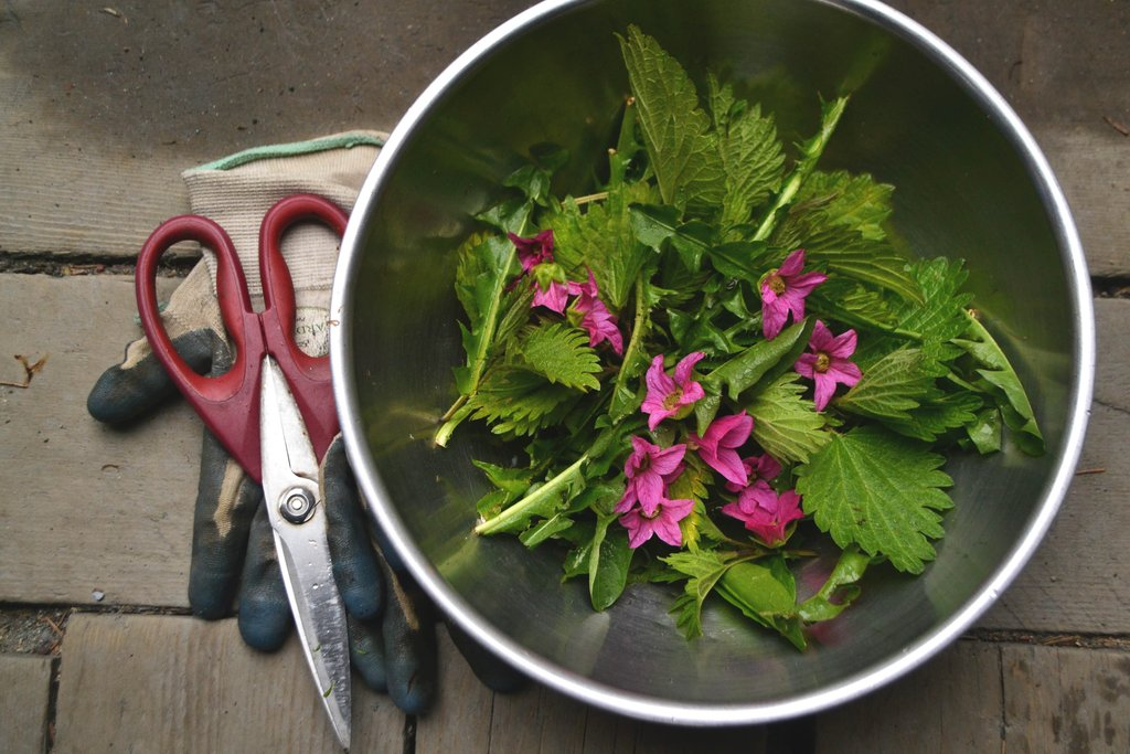 Eat the Weeds: Recipe for a Wild Spring Greens Pesto