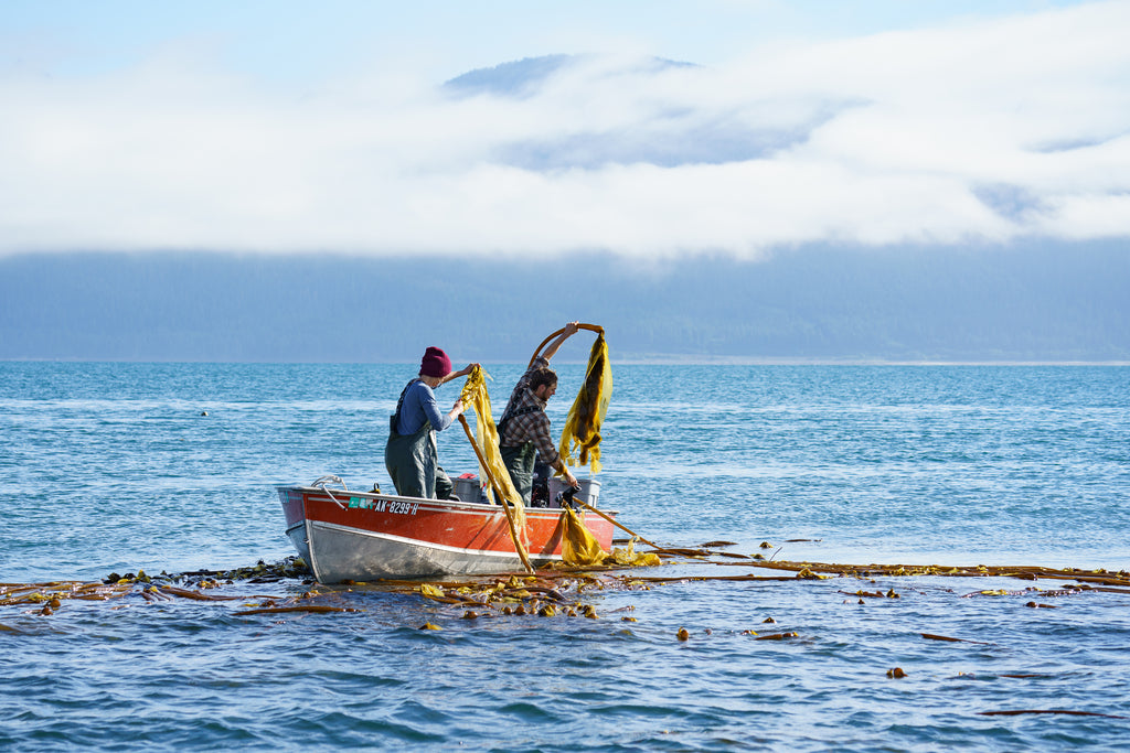 Harvesting wild bull kelp off the coast of Alaska for Gathered and Grown Botanicals natural skincare