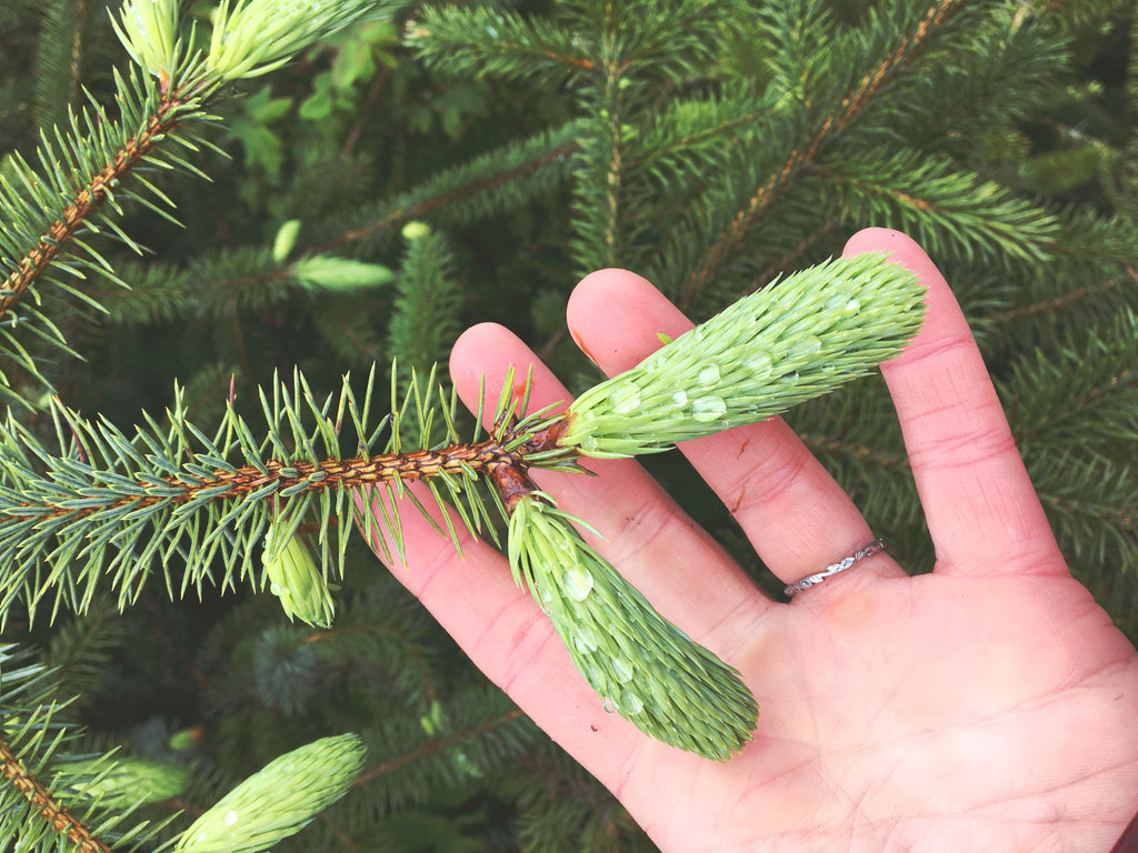 Harvesting spruce tips in Alaska