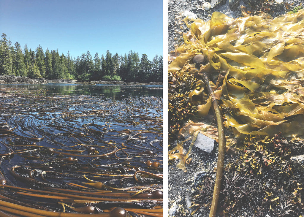 A kelp bed off the coast of Alaska beside a close up of a golden bull kelp frond