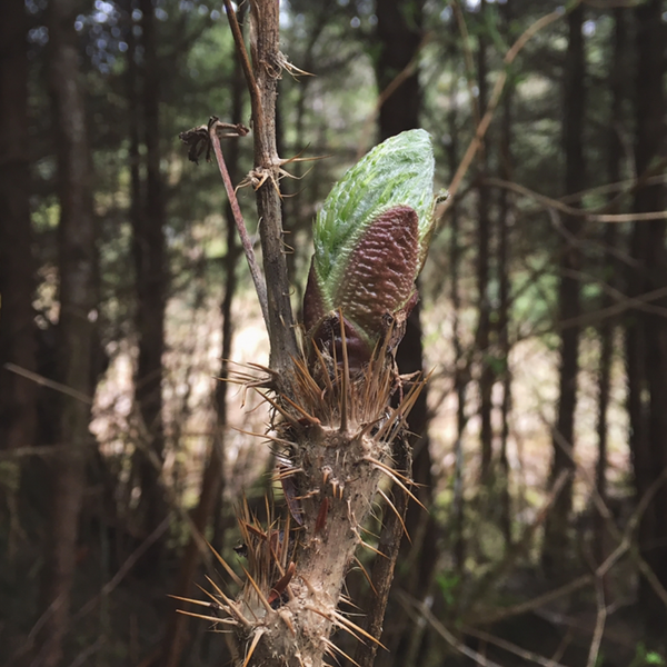 Forage wild edibles: Devil's Club Bud