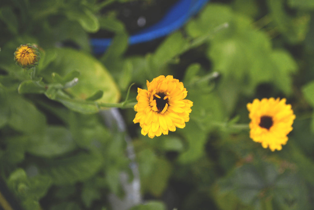 Yellow calendula flowers begin to bloom in a garden bed