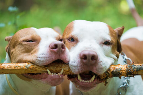 Dogs are powerful chewers