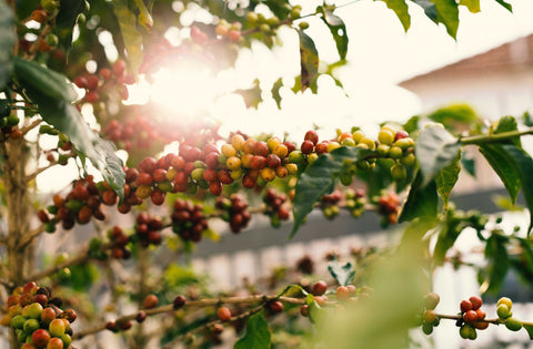 Coffee plant Timor Organic Cherry Green