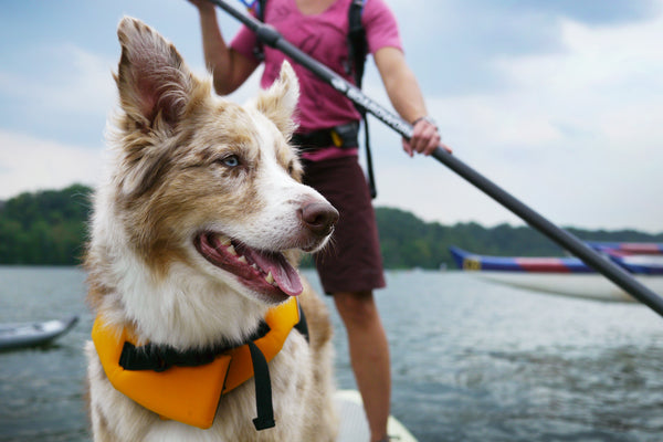 Dog on Stand Up Paddle Board on the water
