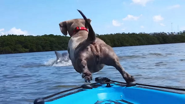 Dog jumping off kayak after dolphin