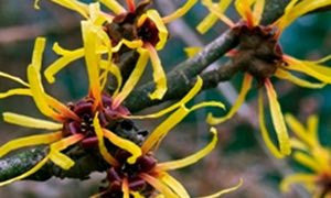 HAMAMELIS; is extracted from the leaves of the Hamamelis Virginiana plant. In-vitro tests have demonstrated anti-inflammatory, bacteriostatic and antiseptic activity.