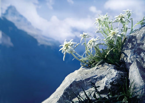 Edelweiss is a powerful pure extract from the Swiss alpine flower Edelweiss (leontopodoum alpinum).
