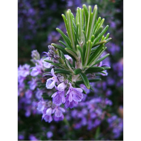 ROSEMARY; is extracted from the leaves of the Rosmarinus officinalis L plant proceeding from an organic crop.