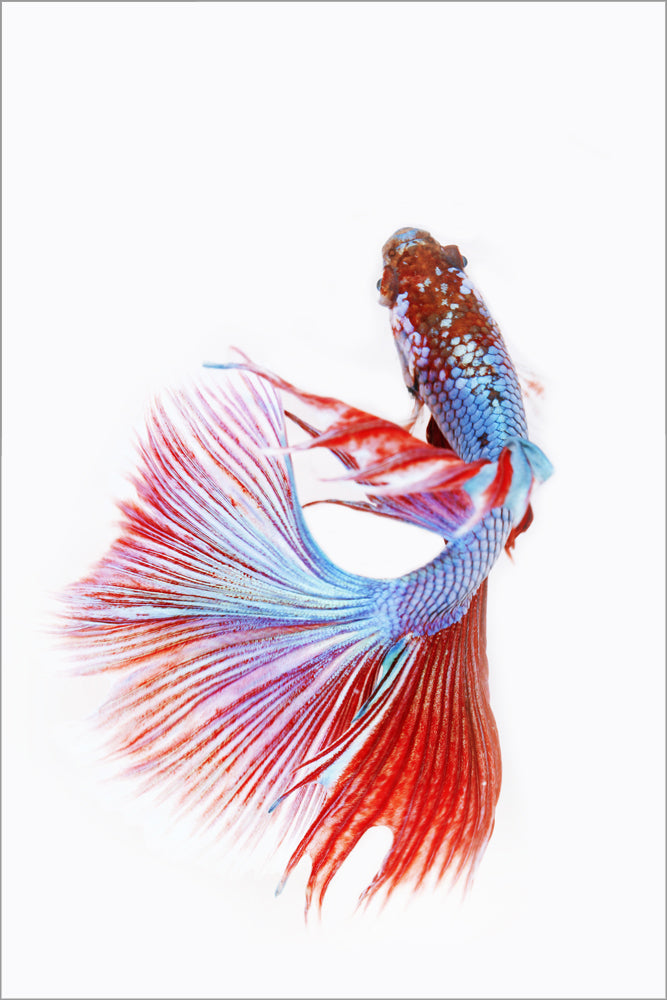 Red and Blue Plexiglass Fish Print