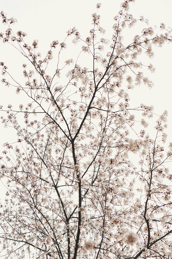 Large Plexi glass Photo of Blossom Tree