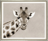 Sepia Photo of an African Giraffe